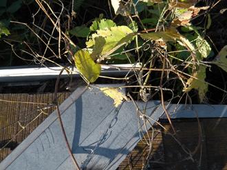 豊島区 屋根葺き替え工事前の点検 雨樋に植物が生えている