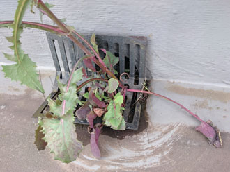 排水口から生えてきた植物