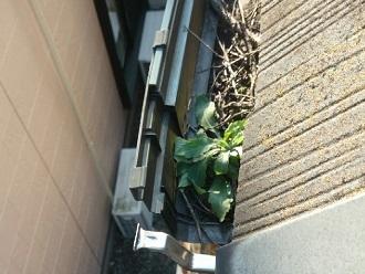 植物が詰まっている軒樋
