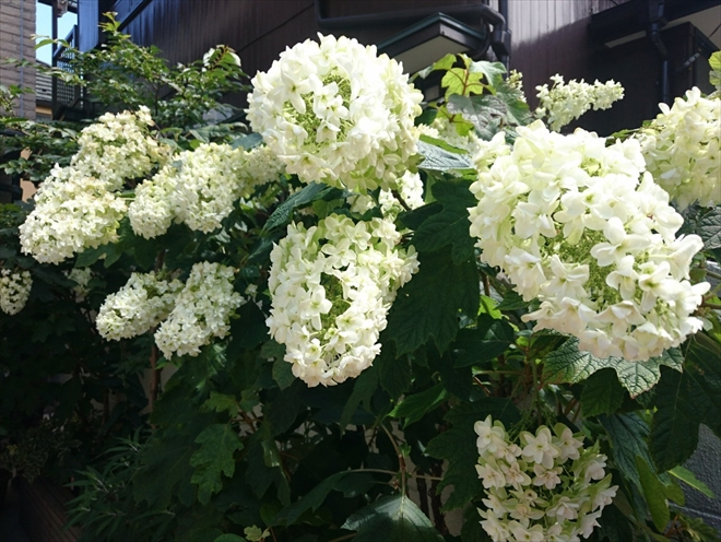 アジサイが綺麗に咲いています