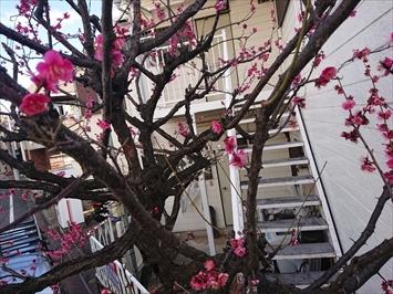 綺麗に咲いた梅の花