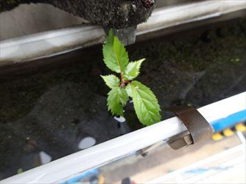 植木鉢状態の雨樋