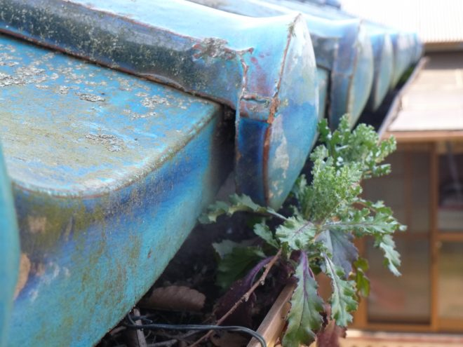 雨樋から植物