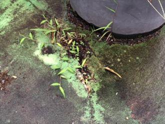 FRP防水から生えた草のアップ