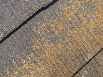 スレートに黄色い苔