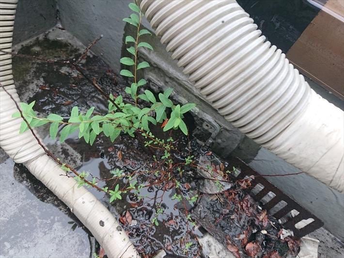 防水が切れてそこから草が生えています